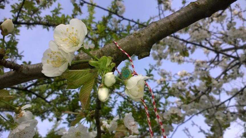 Marteniza appesa ad un ciliegio in fiore, augurio di primavera.