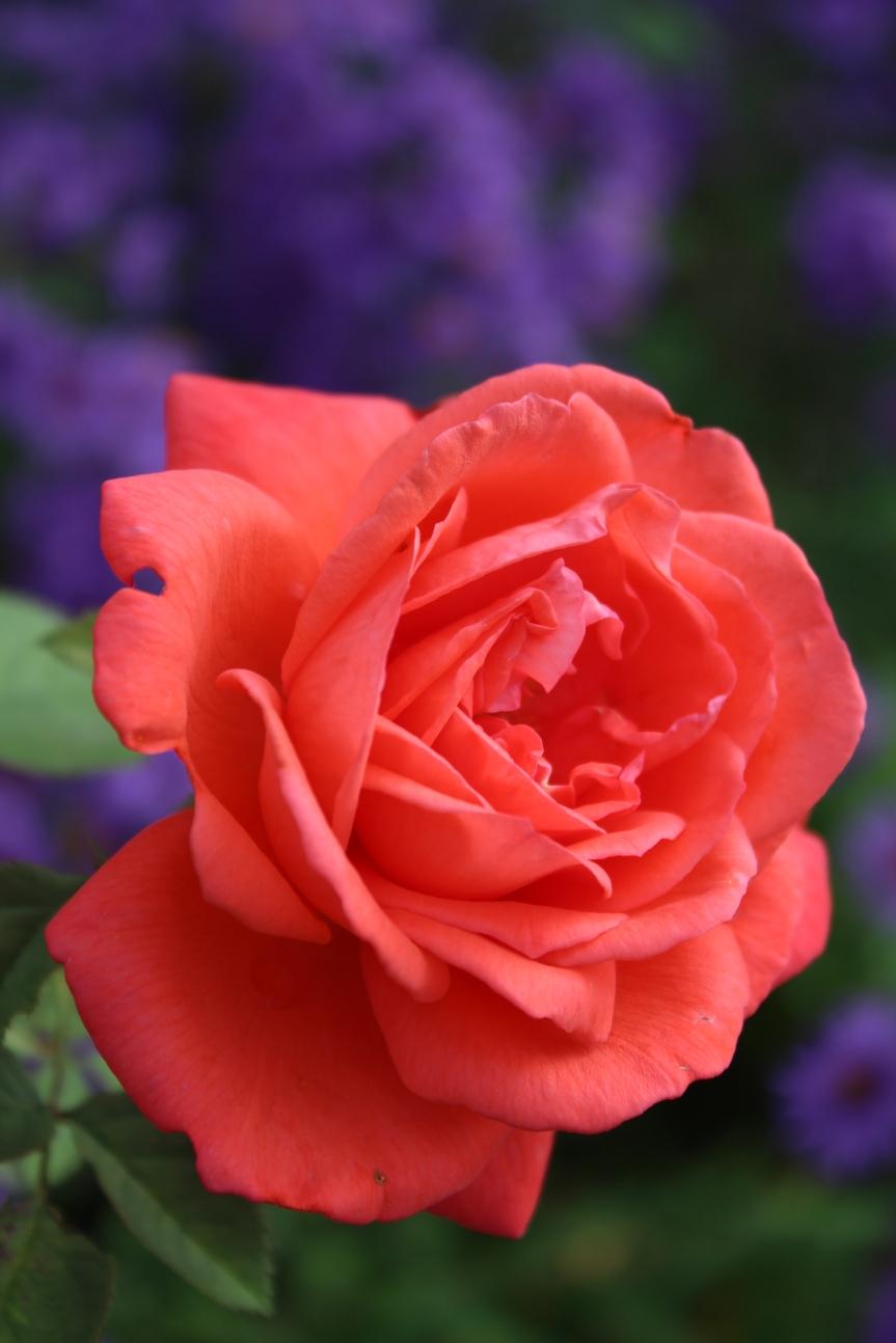Ricordi di Rose