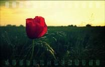 A te una Rosa.